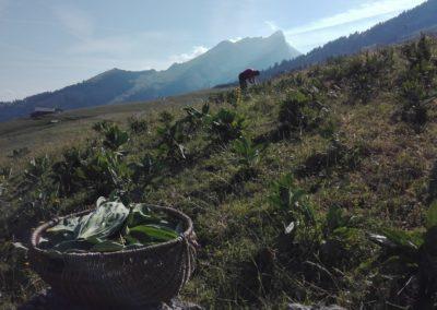 Accompagnement de Cimes et racines pour la production de plantes aromatiques et médicinales bio près d'Annecy